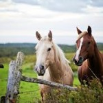 horses standing at the fence 2